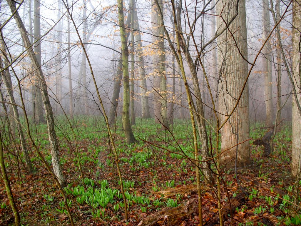 The land next to the river was prime gardening for the Native Americans. The forest floor is about to transform.