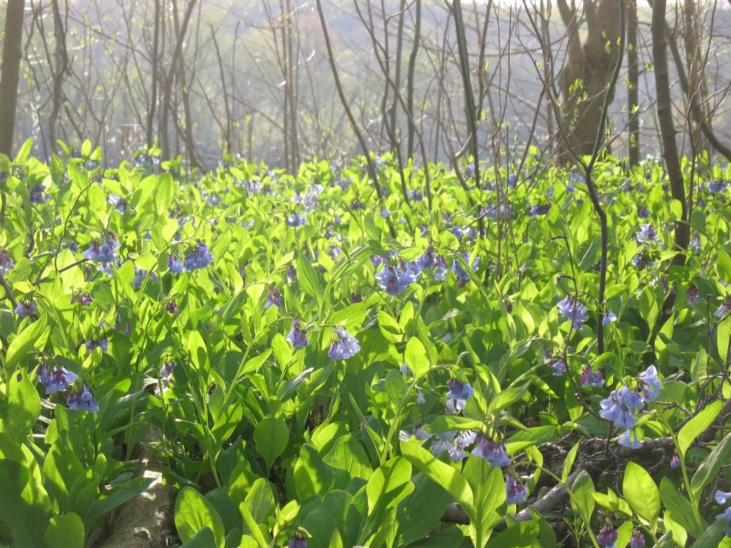 Virginia Bluebells at their peak.