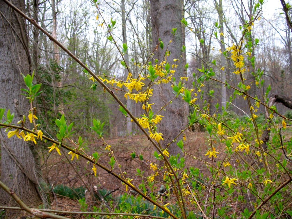 One of the more dramatic transitions is watching Forsythia post bloom