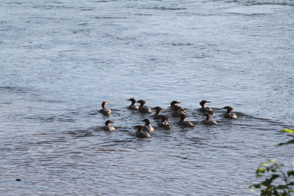 All of a sudden these Common Female Mergansers started hanging out together.