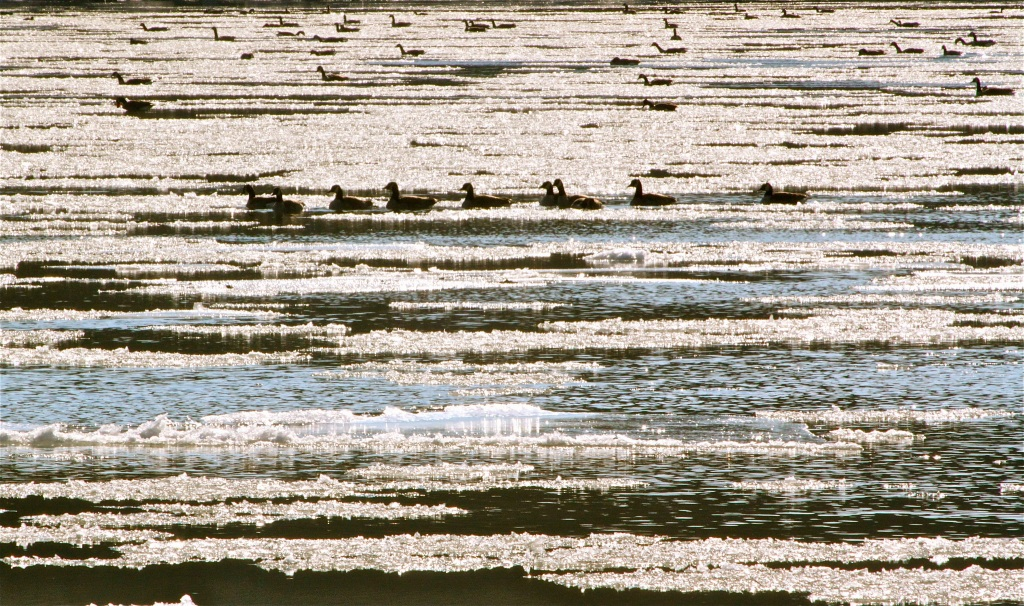 Geese among the ice flows.